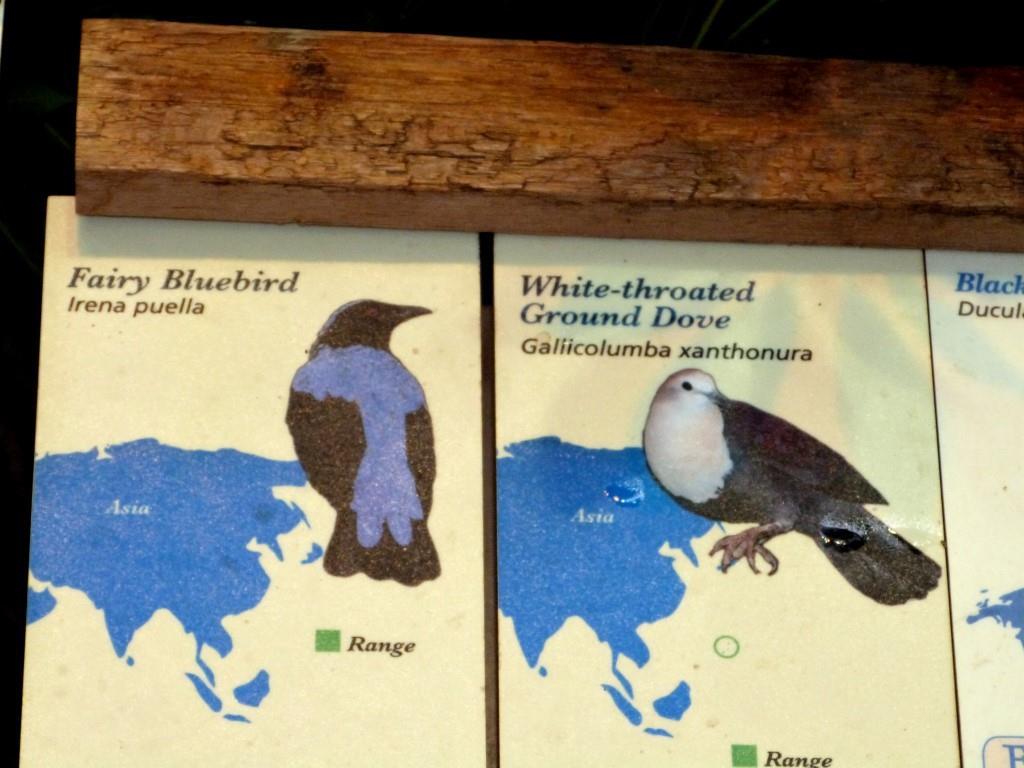 Asian Fairy-bluebird (Irena puella) Sign