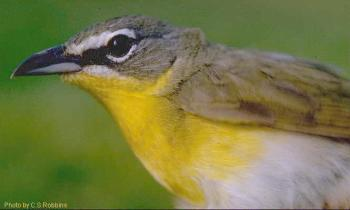 Yellow-Breasted Chat (Icteria virens) by USGS