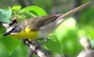 Yellow-Breasted Chat (Icteria virens) WikiC