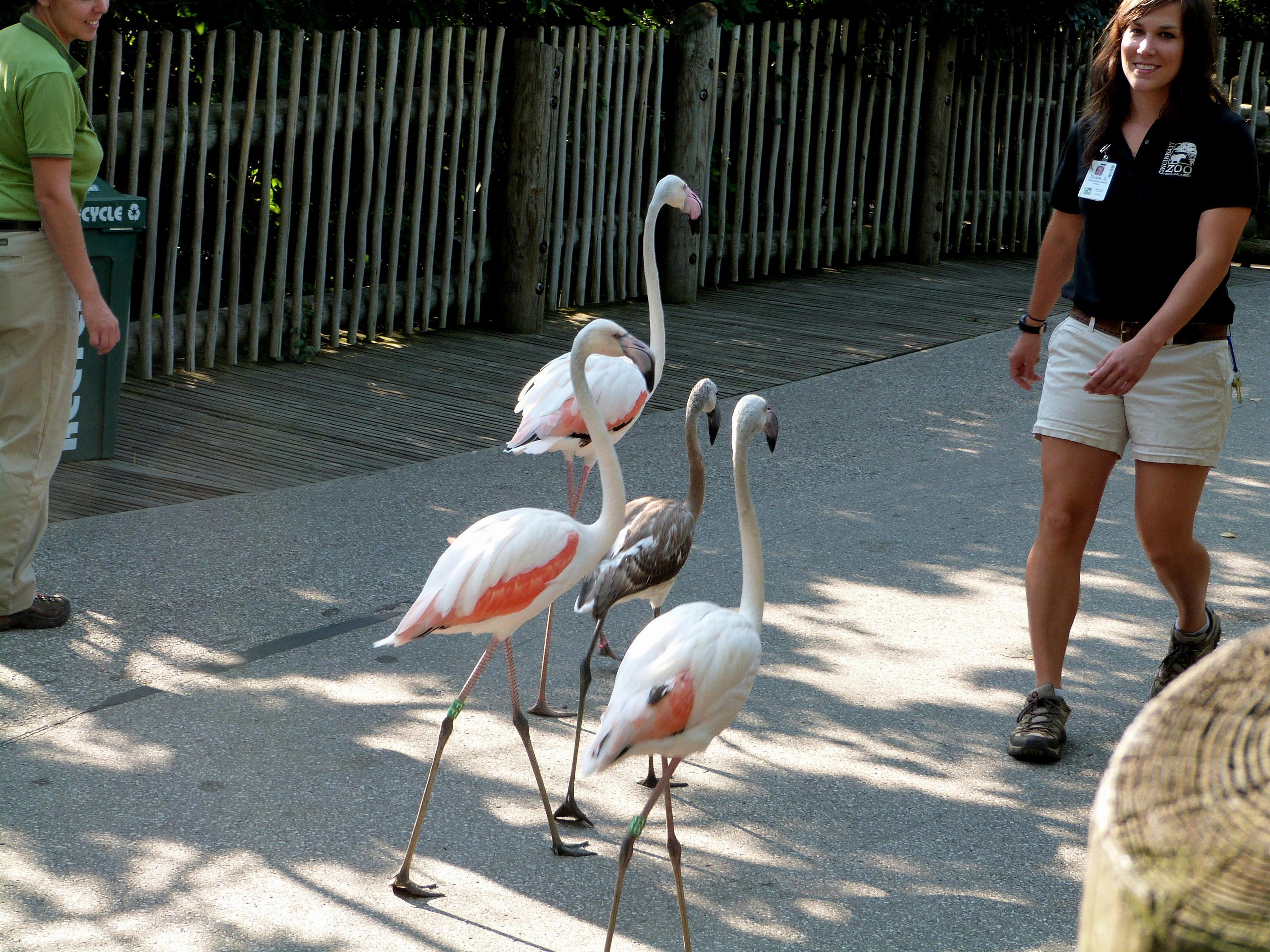 Greater Flamingo (Phoenicopterus roseus) at Cincinnati Zoo by Lee
