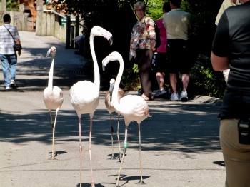 Greater Flamingo (Phoenicopterus roseus) at Cincinnati Zoo by Lee