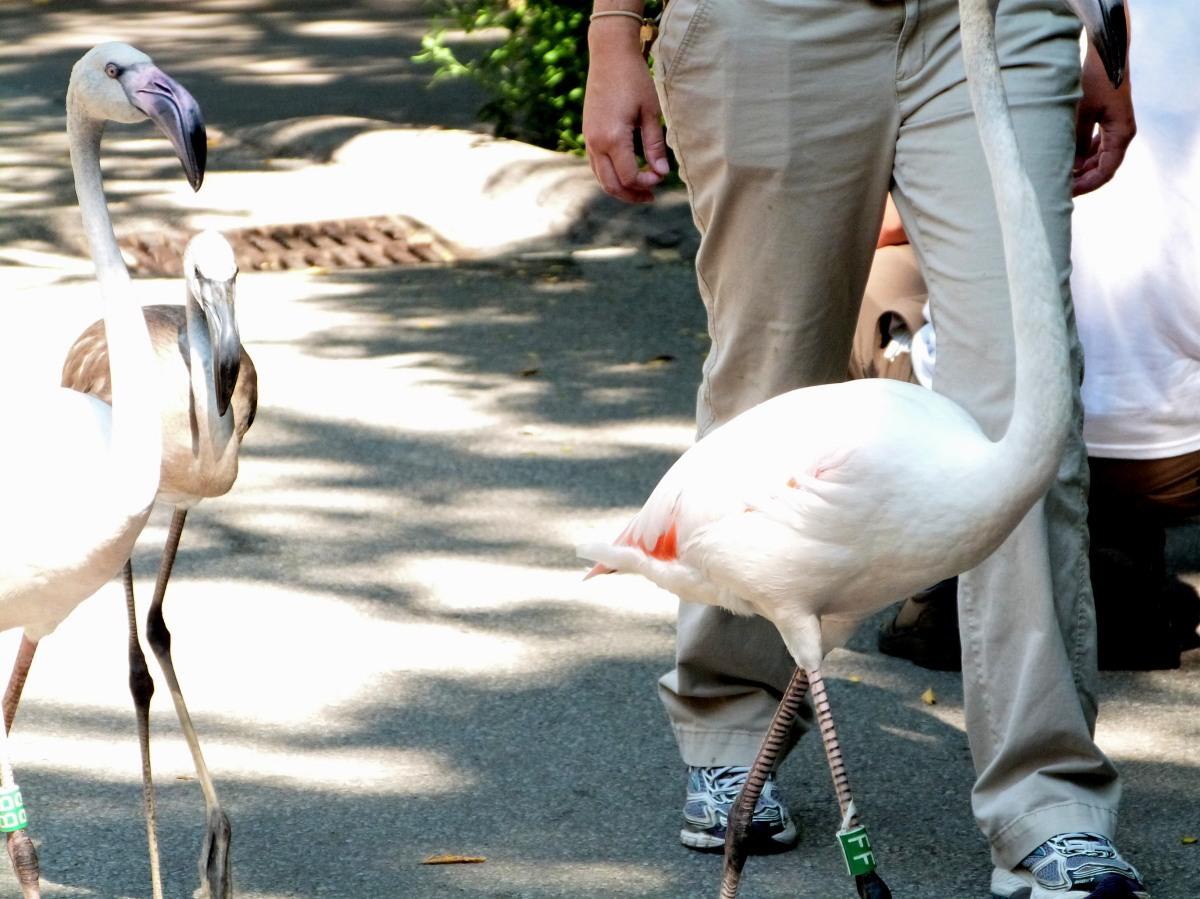Greater Flamingo (Phoenicopterus roseus) at Cincinnati Zoo by Lee Second walk