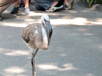 Greater Flamingo (Phoenicopterus roseus) Juvenile at Cincinnati Zoo by Lee