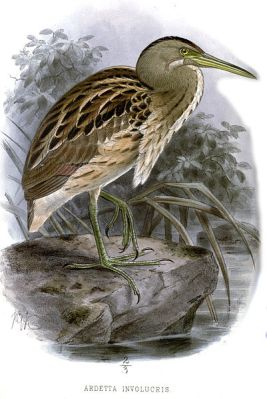 Stripe-backed Bittern (Ixobrychus involucris) ©Drawing WikiC