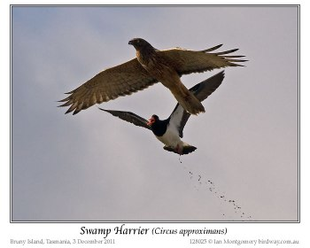 Swamp Harrier (Circus approximans) by Ian