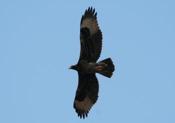 Verreaux's Eagle (Aquila verreauxii) ©WikiC2