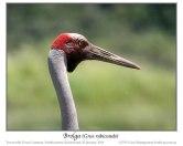 Brolga Crane (Grus rubicunda) by Ian Montgomery