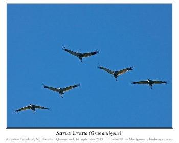 Sarus Crane (Grus antigone) by Ian Montgomery
