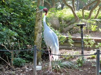 Sarus Crane (Grus antigone) by Lee at Wings of Asia