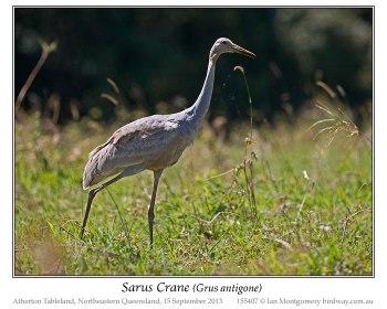 Sarus Crane (Grus antigone) Juvenile by Ian Montgomery