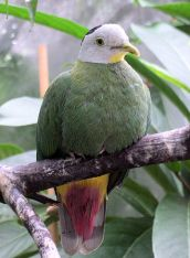 Black-naped Fruit Dove (Ptilinopus melanospilus) ©WikiC
