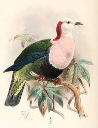 Red-naped Fruit Dove (Ptilinopus dohertyi) ©Drawing WikiC