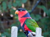 Black-capped Lory (Lorius lory) Cincinnati Zoo 9-5-13 by Lee