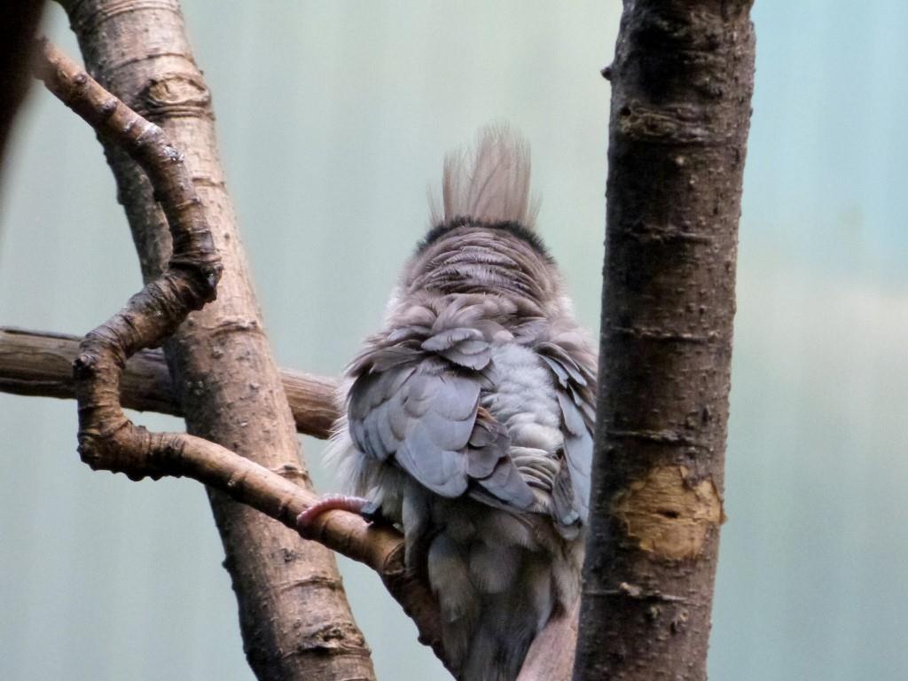Blue-naped Mousebird (Urocolius macrourus) at Cincinnati Zoo) by Lee