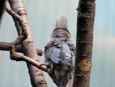 Blue-naped Mousebird (Urocolius macrourus) at Cincinnati Zoo) by Lee