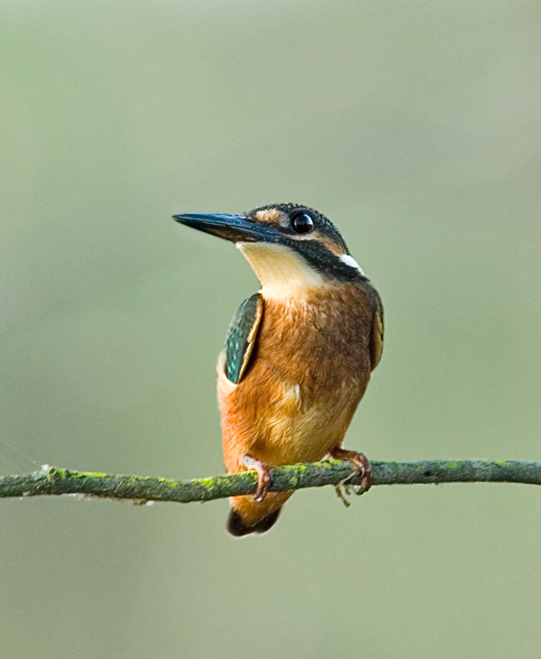 Common Kingfisher (Alcedo atthis) by W Kwong