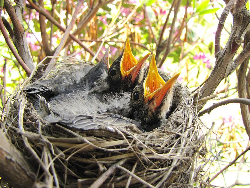 American Robin (Turdus migratorius) in nest ready to eat WikiC