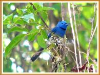 Black-naped Monarch (Hypothymis azurea) by Wondersf