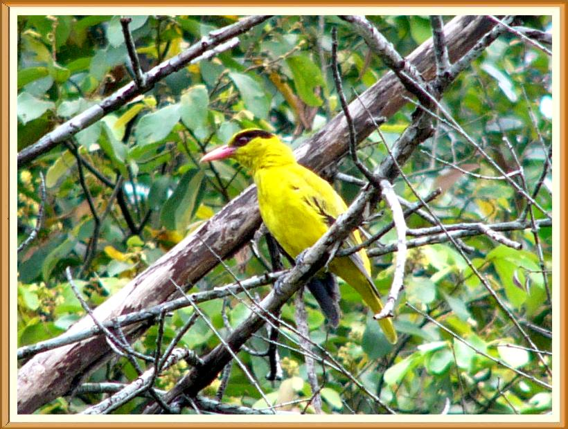 Black-naped Oriole (Oriolus chinensis) by Wondersf