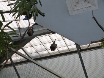 Giant Fruit Bat at Cincinnati Zoo 9-5-13 by Lee
