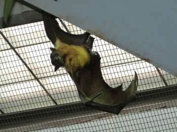 Giant Fruit Bat at Cincinnati Zoo 9-5-13 by Dan