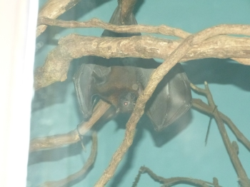 Common Vampire Bat - Cincinnati Zoo by Lee
