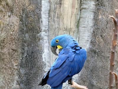 Hyacinth Macaw (Anodorhynchus hyacinthinus) Cincinnati Zoo 9-5-13 by Lee
