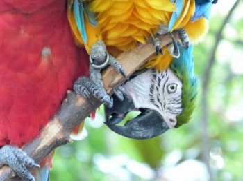 Scarlet and Blue-and-yellow Macaw