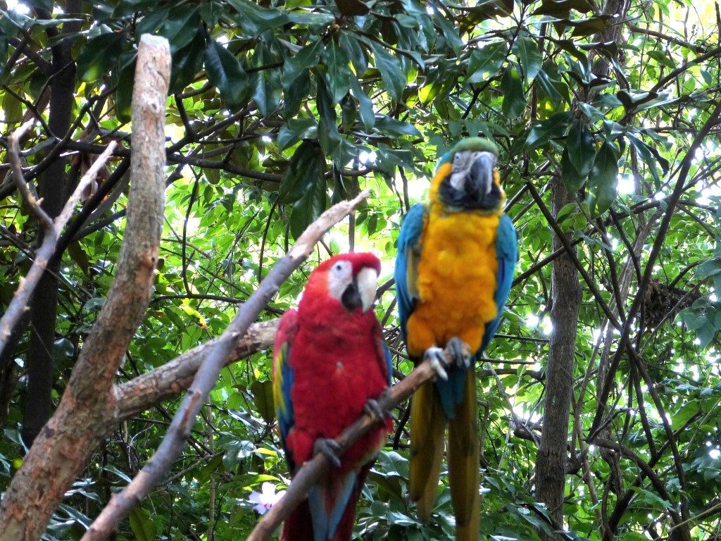 Scarlet and Blue-and-yellow Macaws by Lee