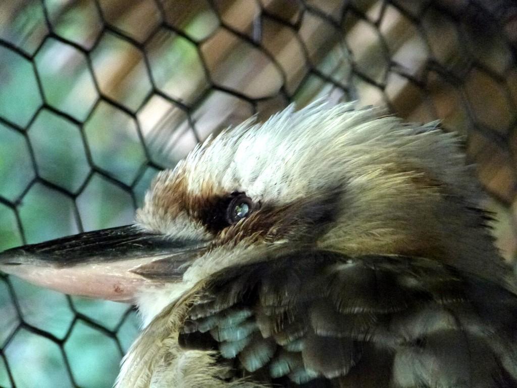 Laughing Kookaburra (Dacelo novaeguineae) by Lee Cincinnati Zoo 9-5-13