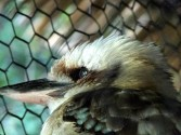Laughing Kookaburra (Dacelo novaeguineae) by Lee Cincinnati Zoo 9-5-13