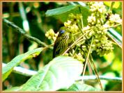 Purple-naped Sunbird (Hypogramma hypogrammicum) by Wondersf