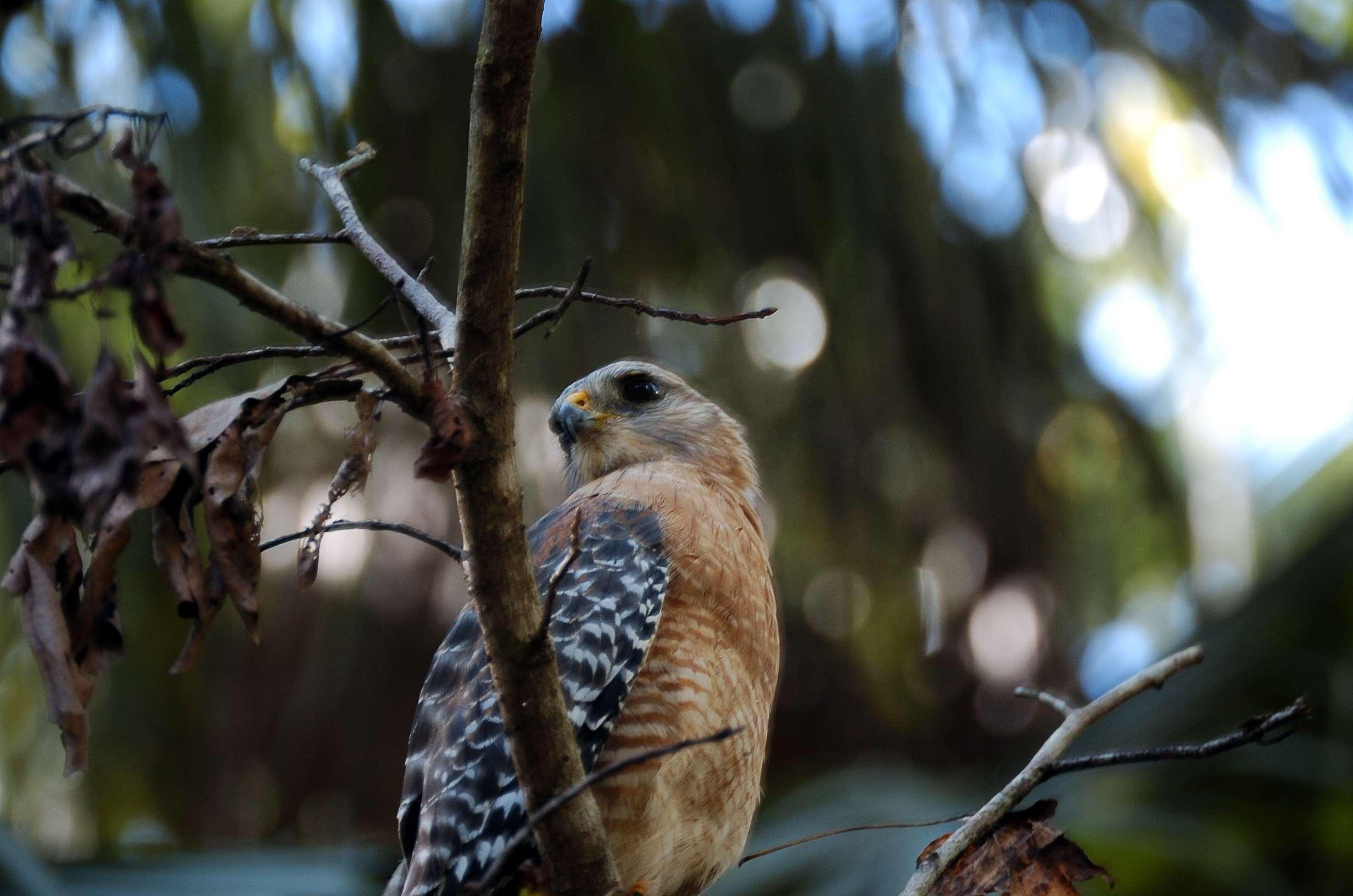 red shouldered hawk  buteo lineatus  highlands hammock spk by dan highlands hammock state park   lee u0027s birdwatching adventures plus  rh   leesbird