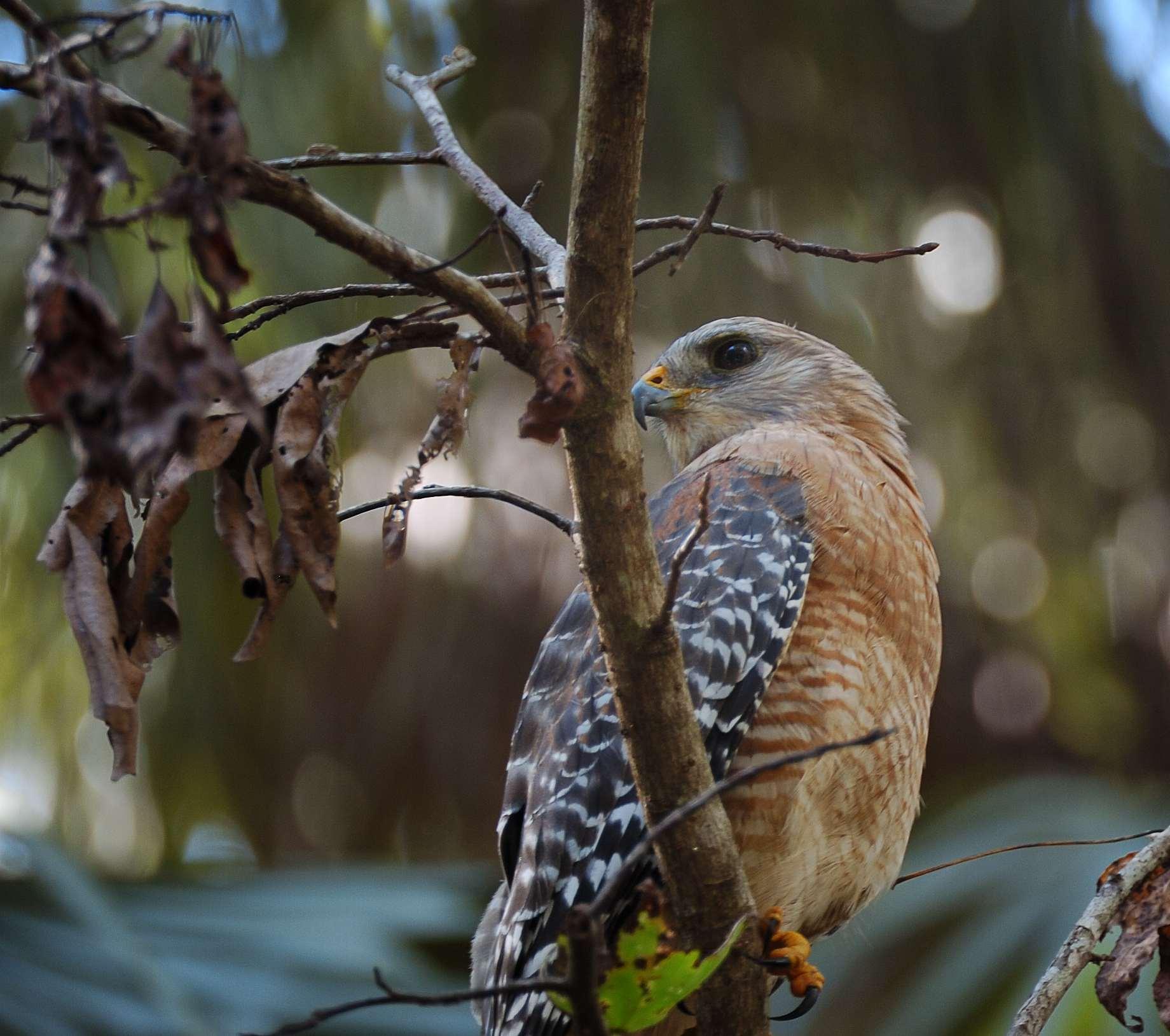 Red-shouldered Hawk (Buteo lineatus) Highlands Hammock SPk by Dan