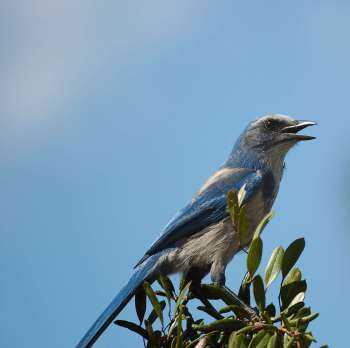 Florida Scrub Jay (Aphelocoma coerulescens) by Dan