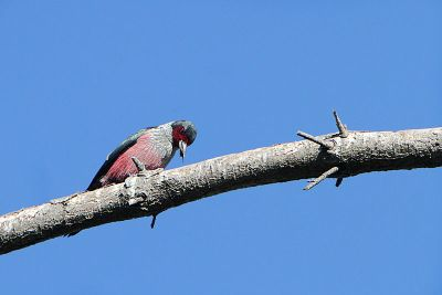 Lewis's Woodpecker (Melanerpes lewis) With Bug In Its Beak ©WikiC