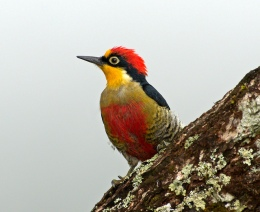 Wordless Yellow-fronted Woodpecker