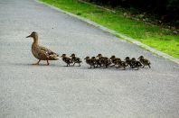 Mallard Duck army marching (I know it's not a King, but it's cute) ©WikiC