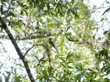 Western Kingbird (Tyrannus verticalis) Highlands Hammock SPk by Lee