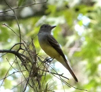 Western Kingbird (Tyrannus verticalis) Highlands Hammock SP by Lee (Cropped)