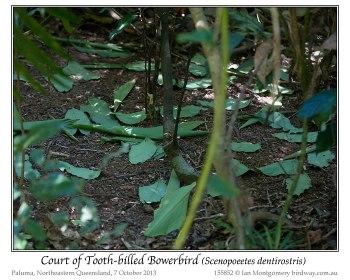 Tooth-billed Bowerbird (Scenopoeetes dentirostris) Court by Ian