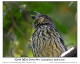 Tooth-billed Bowerbird (Scenopoeetes dentirostris) by Ian
