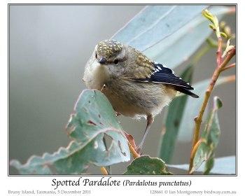Spotted Pardalote (Pardalotus punctatus) by Ian Juvenile
