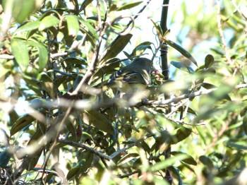 White-eyed Vireo (Vireo griseus) Highlands Hammock SPk 10-14-13