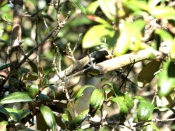 White-eyed Vireo (Vireo griseus) Highlands Hammock  SP by Lee