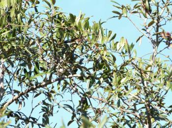 White-eyed Vireo (Vireo griseus) Highlands Hammock