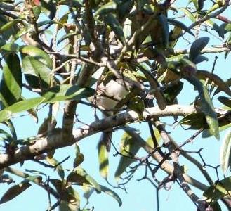 White-eyed Vireo (Vireo griseus) Highlands Hammock SP cropped