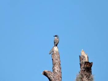 Florida Scrub Jay (Aphelocoma coerulescens) Highlands Hammock S Pk by Lee