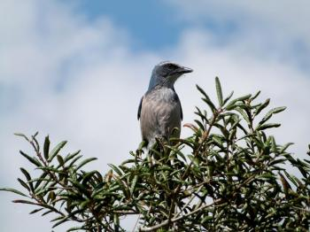 Florida Scrub Jay (Aphelocoma coerulescens) Lake June-in-Winter SPk