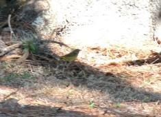 Palm Warbler (Setophaga palmarum) by Lee